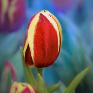 tulipan quebec czerwony
