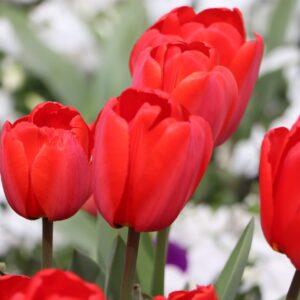 tulipan agrass white biały