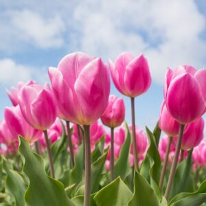 tulipan van eijk różowa