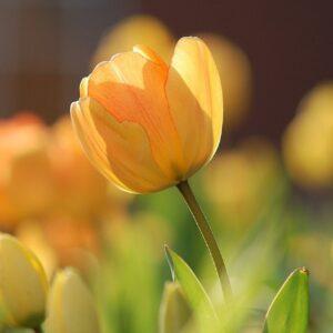 tulipan yellow flight żółta