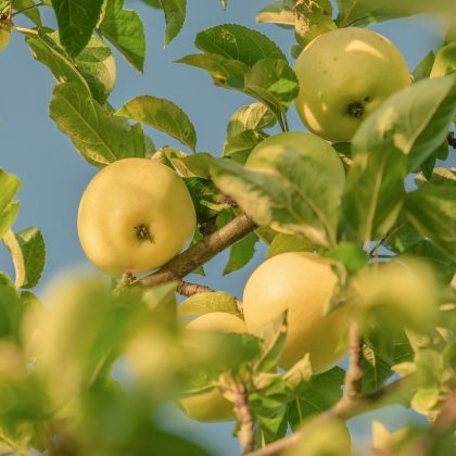 JAbłoń oliwka