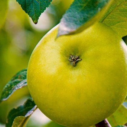 apple jabłoń kosztela