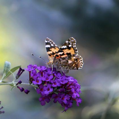 budleja dawida motyli krzew