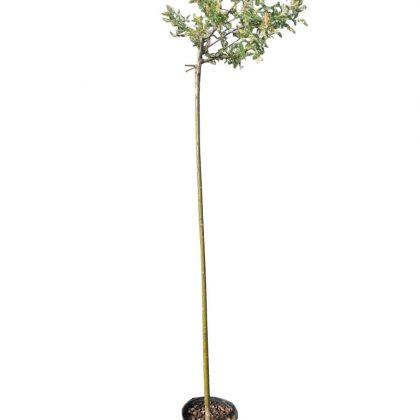 Wierzba Hakuro-Nishiki SZCZEPIONA (Salix Integra)