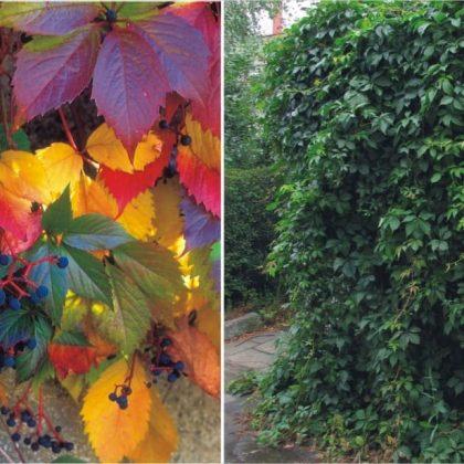 Winobluszcz pięciolistkowy 60-70cm c2,5 (Parthenocissus quinquefolia)